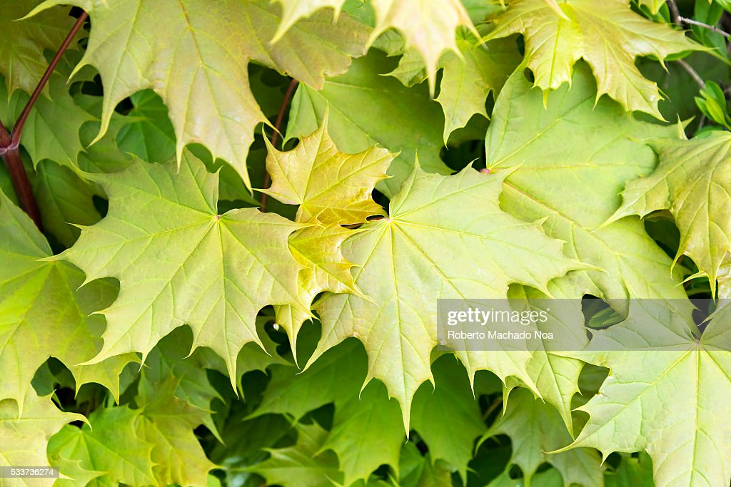 New Maple Leaves Pattern At The Begining Of Spring Season Pictures