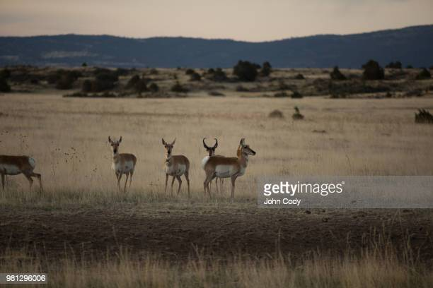 new mexican prong horn - springbok deer stock photos and pictures