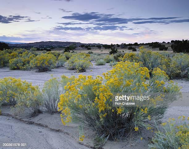 USA, New Mexico, Chimayo, autumnal rabbit brush at sunset