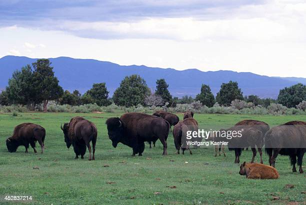 USA New Mexico Near Taos Jimmy Morningtalk's Ranch Bison Herd