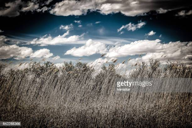 new mexico prairie grass - reed grass family stock photos and pictures