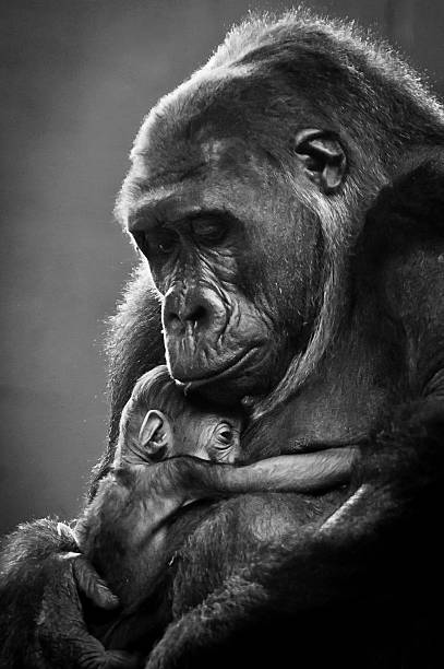 New mother gorilla