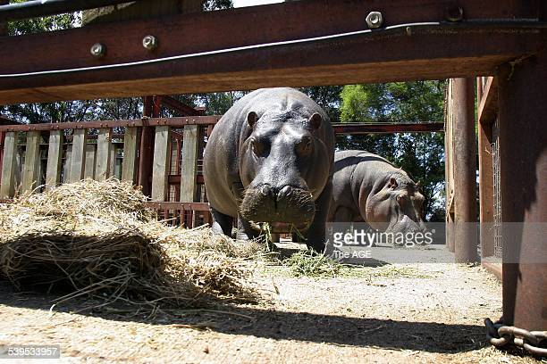 A new mulitmillion dollar hippo exhibit was unveiled today at the Werribee Zoo by the Acting Premier and Environment Minister John Thwaites Pictured...