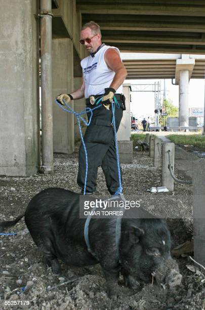 Jeff Eyre a volunteer with the Humane Society of the USA leashes a pig found beneath Interstate 10 to take to the facility for abandoned animals in...