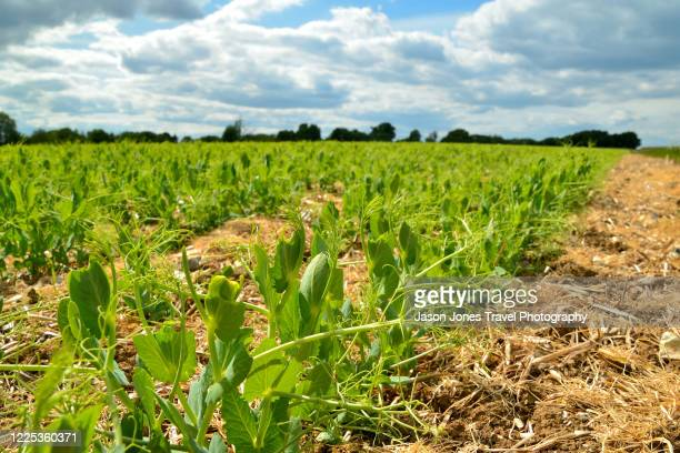 new pea shoots growing in a field - luton stock pictures, royalty-free photos & images