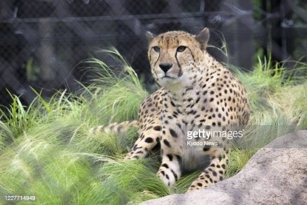 New section dedicated to cheetahs opens at Chiba Zoological Park in Chiba, eastern Japan, on July 21, 2020. The section displays three male and four...