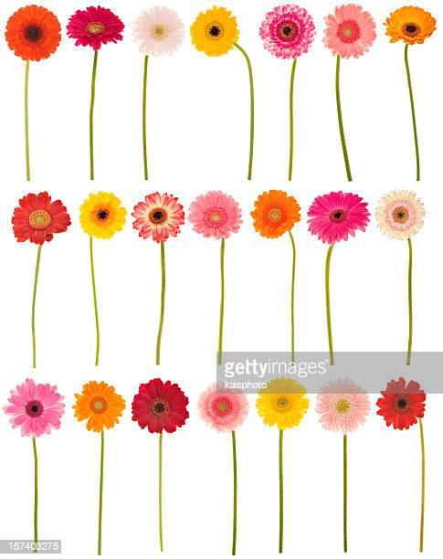 new selection of isolated gerberas - gerbera daisy stock pictures, royalty-free photos & images