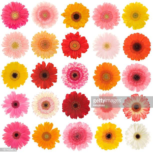 New selection of isolated Gerberas