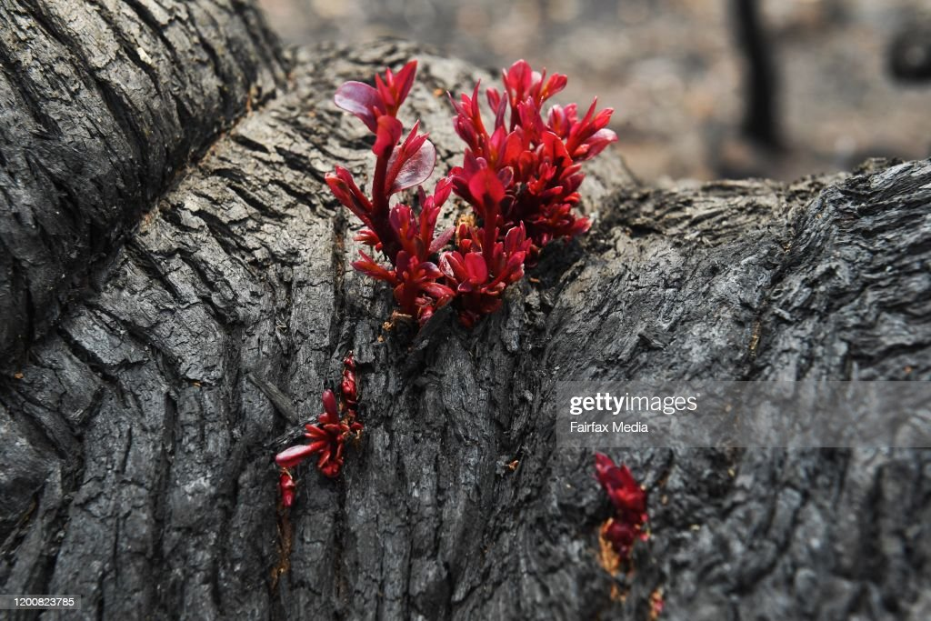 Bushland begins to regenerate following bushfires in Mount Tomah in the Blue Mountains, NSW, 2020 : News Photo