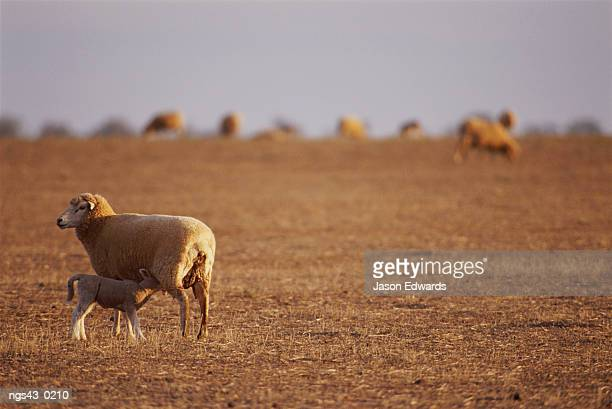 New South Wales, Australia. A lamb suckling in a drought stricken field.