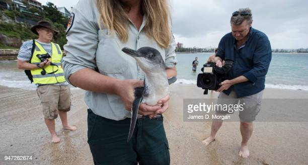New South Wales Parks and Wildlife ranger holds one of the five Little Penguins before release back into the water at Shelly Beach on April 17 2018...