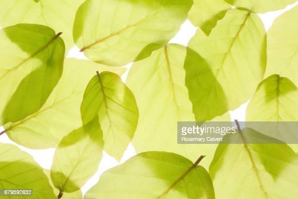 New spring beech leaves filling frame.