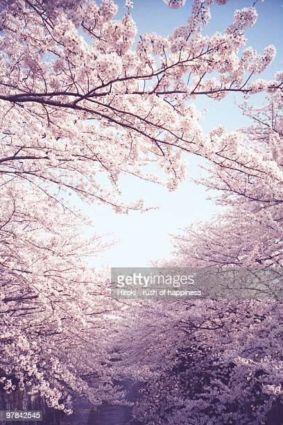 new spring, cherry tree in full bloom - cherry tree stock photos and pictures