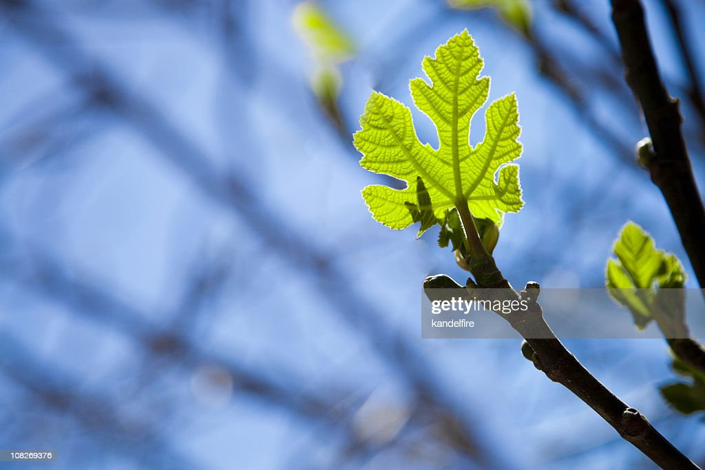 New Spring Leaf : Stock Photo