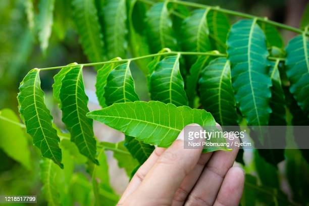 new top leaf of neem plant. azadirachta indica - a branch of neem tree leaves. natural medicine. - ニーム ストックフォトと画像