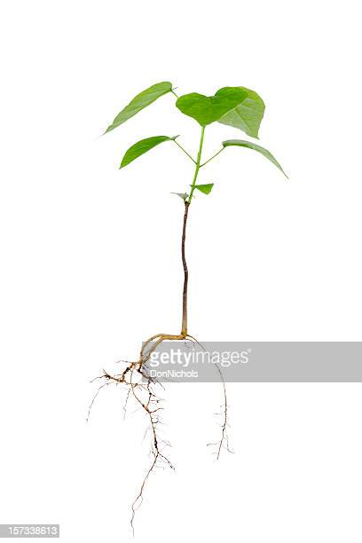 new tree and roots - tree roots stock pictures, royalty-free photos & images