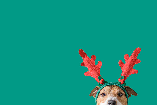 New year and Christmas concept with Dog wearing reindeer antlers headband against solid green background 1181199999