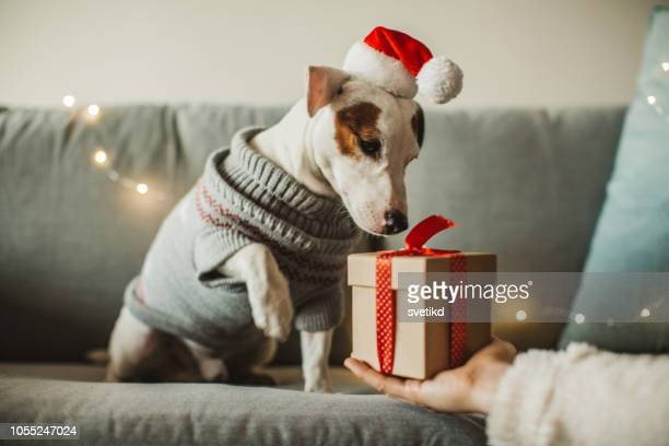 new year present for dog - gift stock pictures, royalty-free photos & images