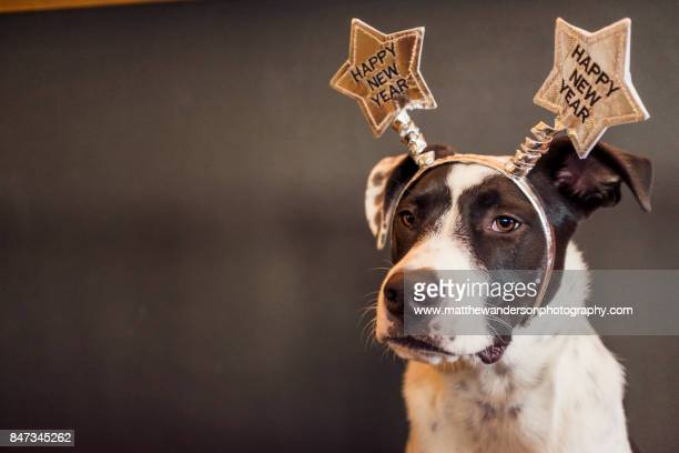 new years eve - with a reluctant dog - new year stock pictures, royalty-free photos & images