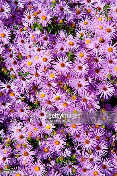 New York aster Aster novibelgi massed purple flowers growing on the High Line linear park in Midtown Manhattan