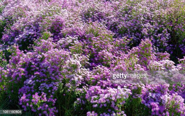 new york asters - liyao xie stock pictures, royalty-free photos & images