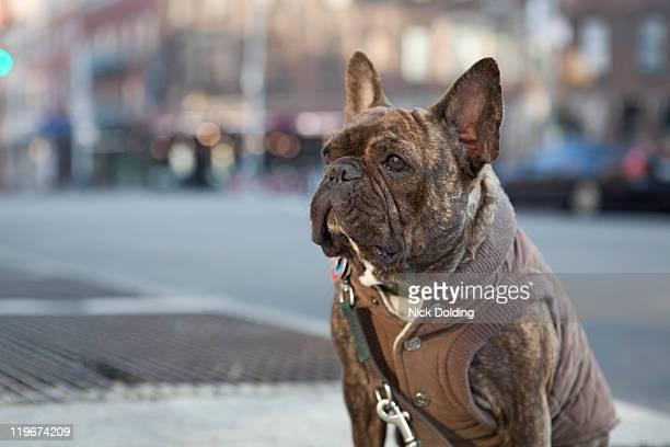 New York French bulldog