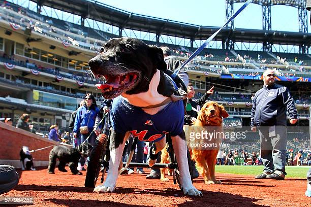 New York Mets celebrate Bark in the Park 2014 with all kinds of dogs parading around Citi Field prior to the game between the New York Mets and the...