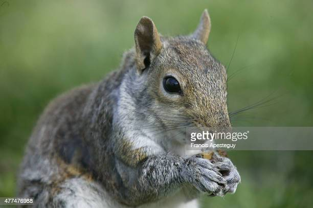 New York New York The squirrel eats Squirrels eat nuts berries shoots and plant foods In urban areas they will also eat cookies crackers and other...