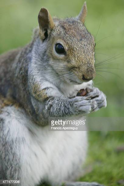 'New York New York The squirrel eats Squirrels eat nuts berries shoots and plant foods In urban areas they will also eat cookies crackers and other...