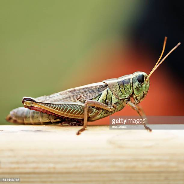 USA, New York State, Greene County, Town of Lexington, West Kill, Grasshopper in summer