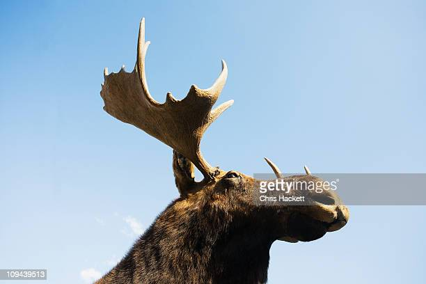 USA, New York State, Moose head against blue sky, low angle view