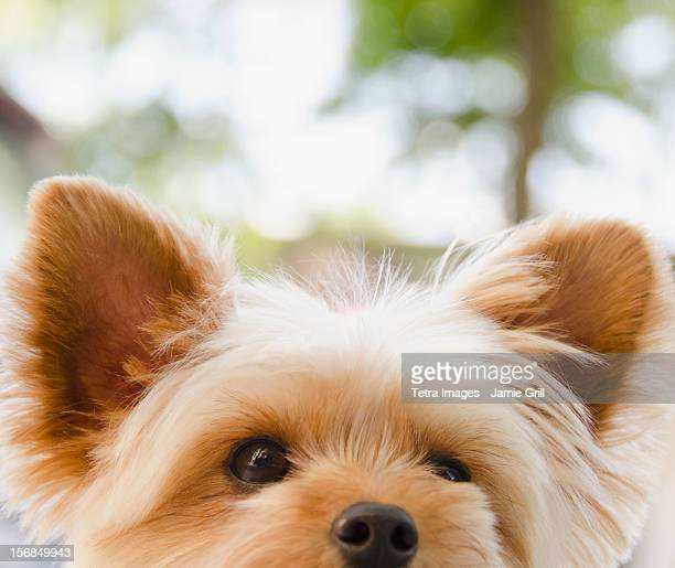USA, New York State, New York City, Brooklyn, Portrait of Yorkshire terrier
