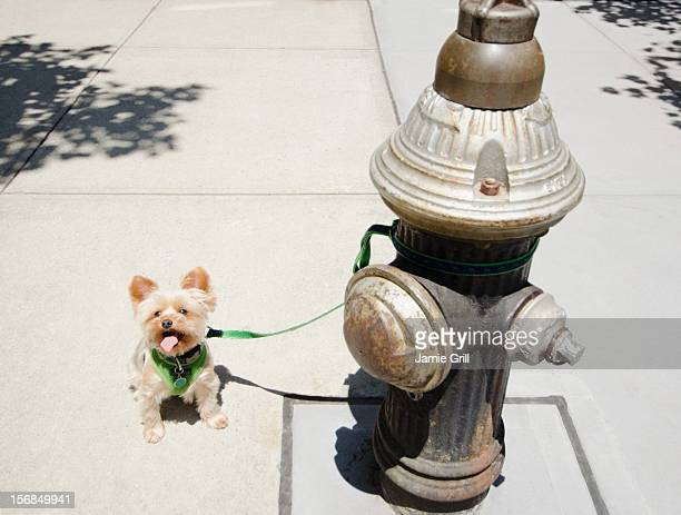 USA, New York State, New York City, Brooklyn, Yorkshire terrier tied to fire hydrant
