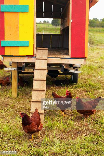 usa, new york state, rhode island, chickens on farm - chicken coop stock pictures, royalty-free photos & images