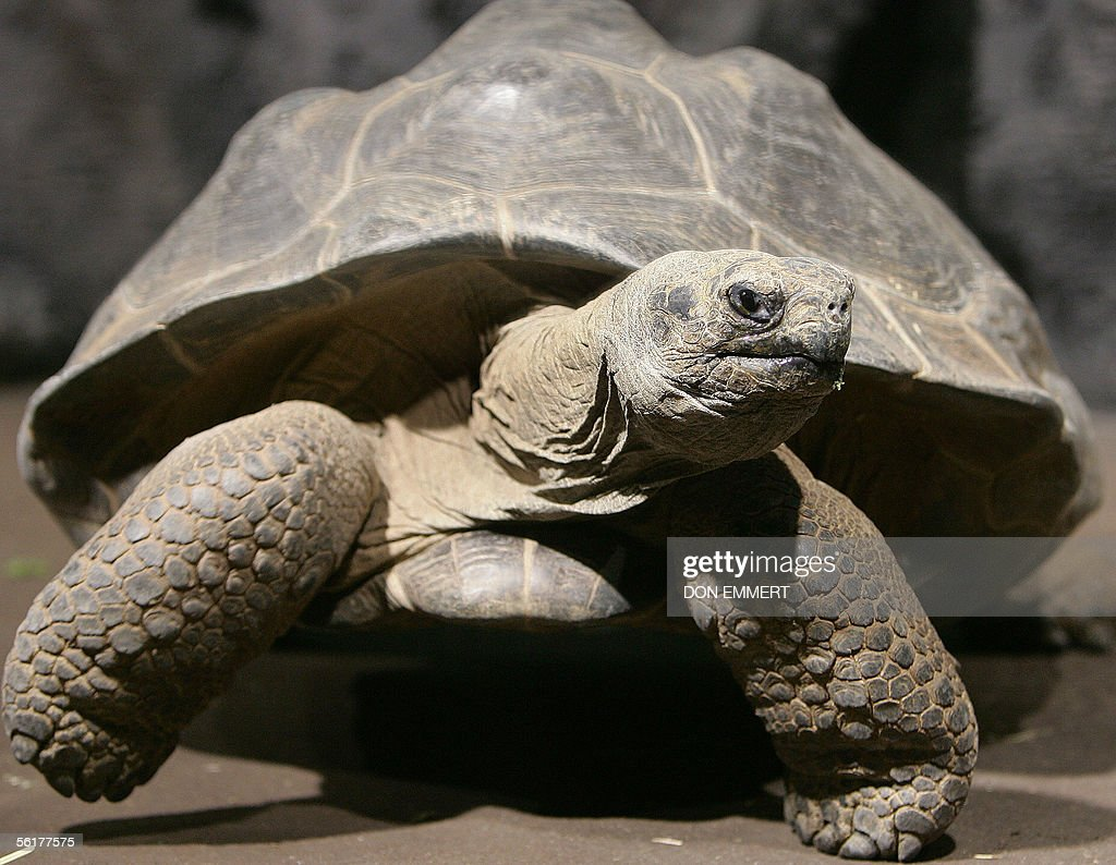 A live Galapagos tortoise marches in its pin as part of an exhibition on Charles Darwin 15 November 2005 at the American Museum of Natural History in New York. The exhibit 'Darwin' is due to open to the public 19 November 2005.