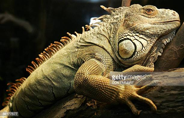 A live green iguana sits on a tree branch in it's pin as part of an exhibition on Charles Darwin 15 November 2005 at the American Museum of Natural...