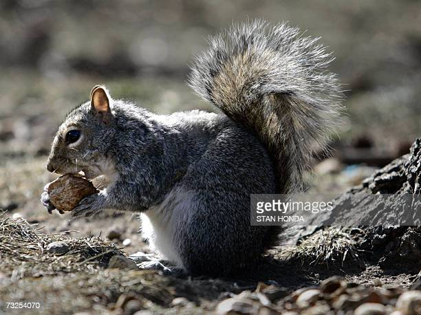 A squirrel eats a nut in Battery Park 07 February 2007 in the lower Manhattan area of New York while below freezing temperatures continue across the...