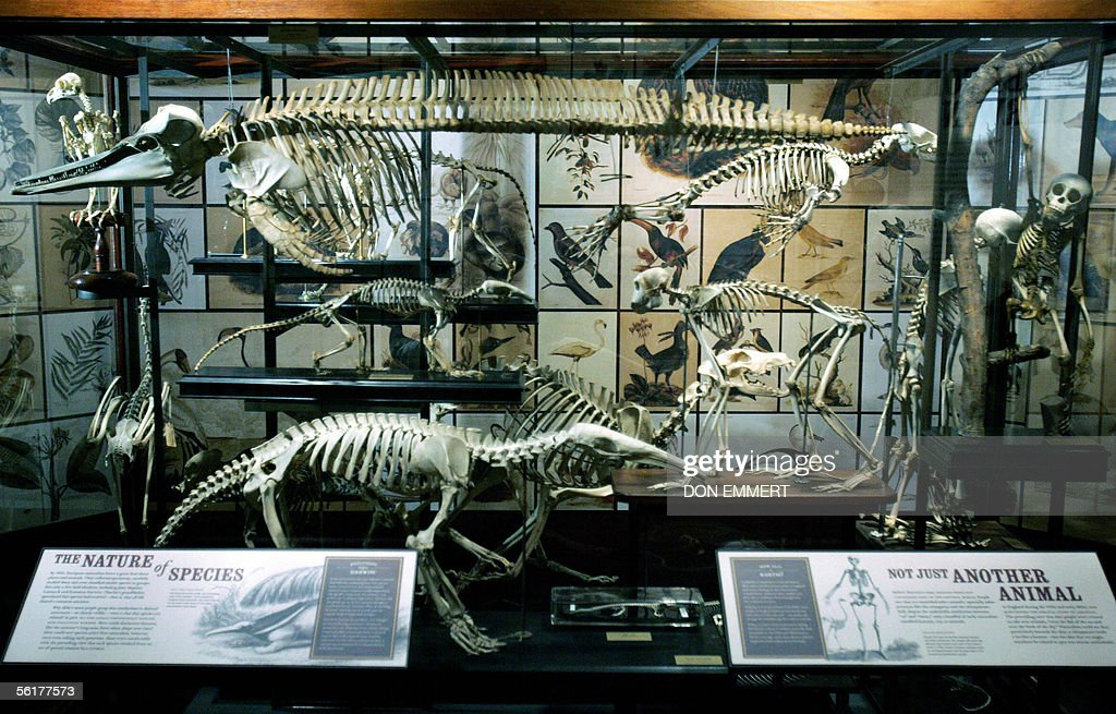 A variety of skeletal remains are displayed as part of an exhibition on Charles Darwin 15 November 2005 at the American Museum of Natural History in New York. The exhibit 'Darwin' is due to open to the public 19 November 2005.