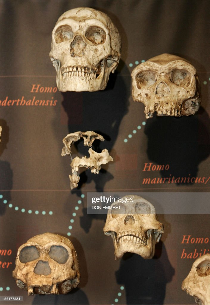 A variey of skulls are on display as part of an exhibition on Charles Darwin 15 November 2005 at the American Museum of Natural History in New York. The exhibit 'Darwin' is due to open to the public 19 November 2005.