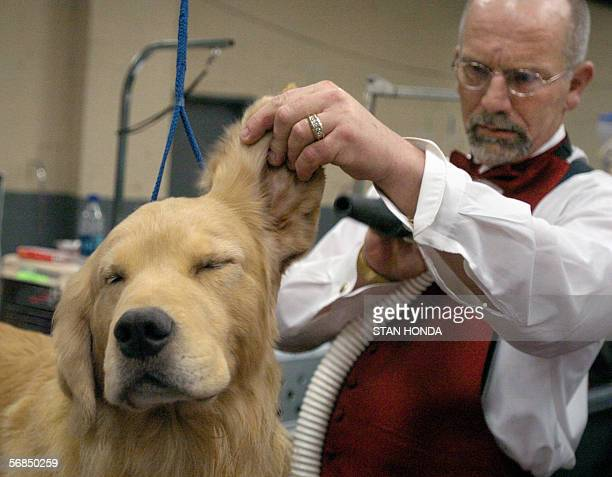 Andy a golden retriever gets his ears blow dried by Ken Matthews during preparations for the 130th Westminster Kennel Club dog show 14 February 2006...