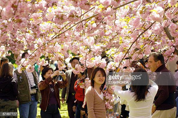 People take photographs under a canopy of cherry blossoms 29 April during the annual Cherry Blossom Festival at the Brooklyn Botanic Garden in New...