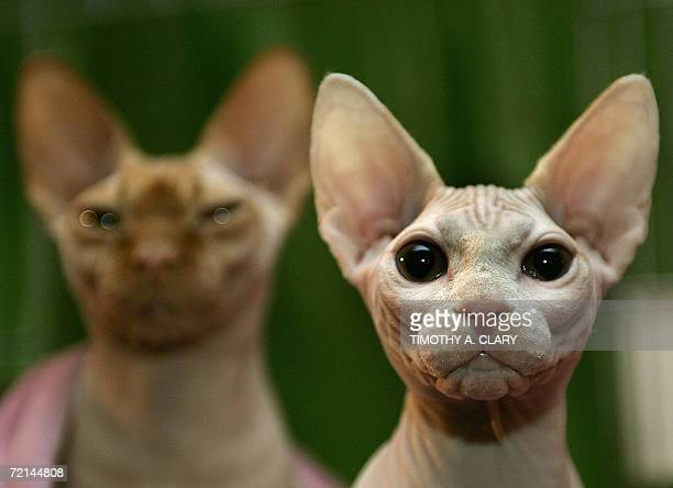 Two Sphynx cats play for the camera during the press preview 11 October at the 4th Annual CFA Iams Cat Championship hosted by the Cat Fanciers'...