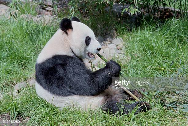 Yong Yong one of two giant pandas on loan from the People's Republic of China cats bamboo shoots as she makes her first public appearance at the...