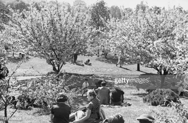 New Yorkers enjoy the sunshine as they sit among the cherry blossom trees of Prospect Park in the borough of Brooklyn, New York City, circa 1955.