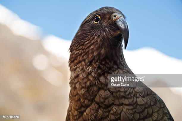 New Zealand Alpine Kea Parrot