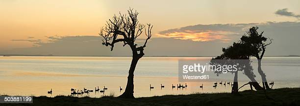 New Zealand, Chatham Island, Silhouette of trees and swans at Blind Jims Creek