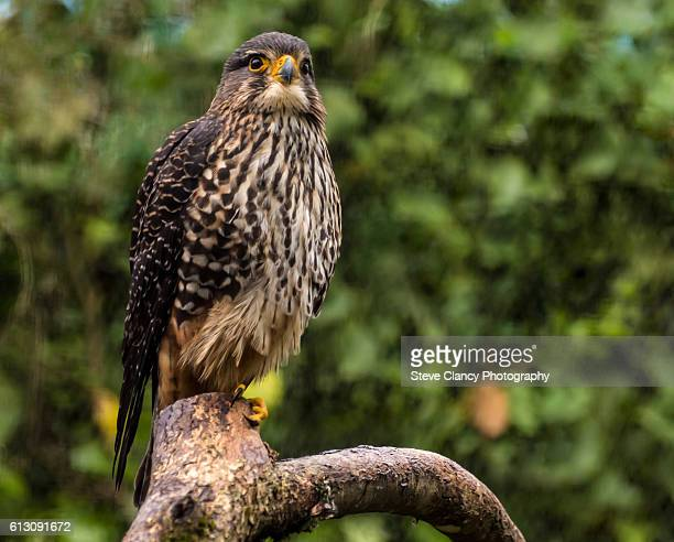 new zealand falcon - sparrow hawk stock pictures, royalty-free photos & images