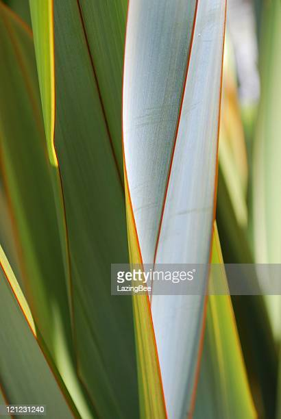 New Zealand Flax (Phormium)
