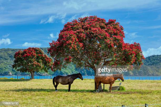 World's Best Pohutukawa Tree Stock Pictures, Photos, And