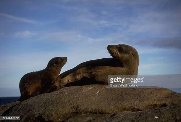 new zealand fur seal mother and pup on a rock - ilha netuno - fotografias e filmes do acervo